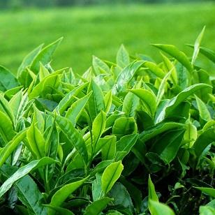 Lá trà xanh trị tưa lưỡi hiệu quả cho trẻ trên 6 tháng tuổi